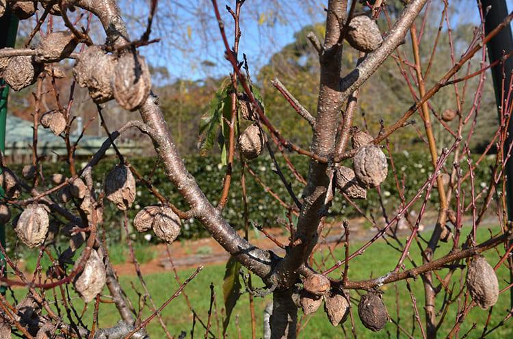 Вот они, последствия медных гвоздей в стволе персика