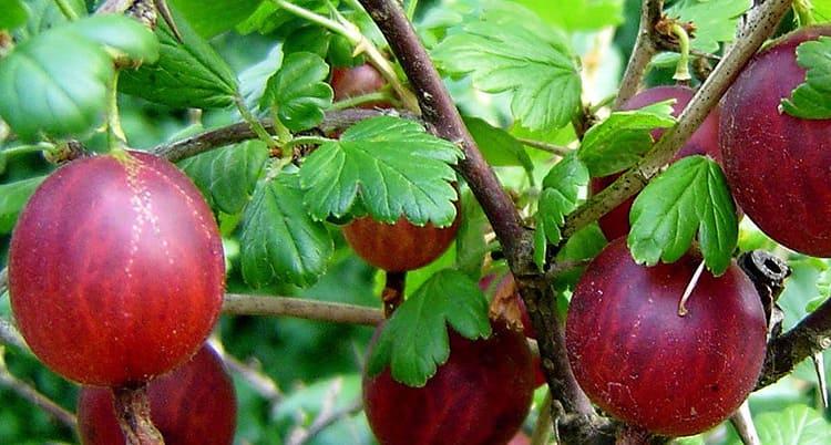 Крыжовник – полезная, сочная и вкусная ягода с очень колючими ветками