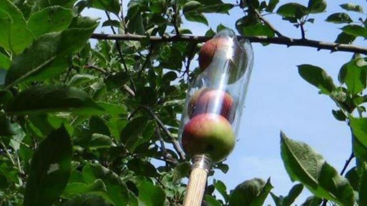 Так же просто с помощью подобного приспособления можно собрать яблоки с высокого дерева