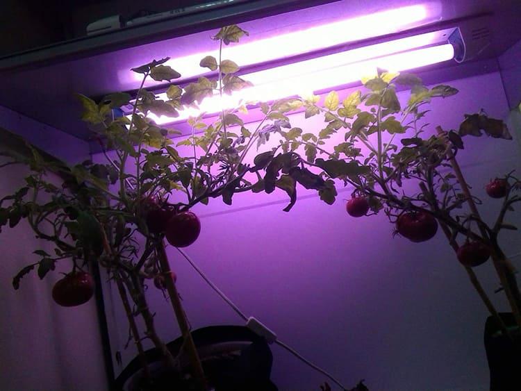 Расстояние между лампой и растениями лимитировано ФОТО: 259827.selcdn.ru