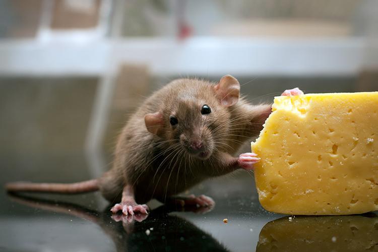Мыши в доме – источник многих огорчений. Хорошая ловушка поможет справиться с их нашествиемФОТО: foto.ua