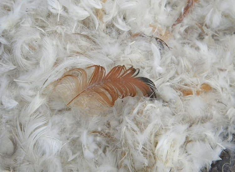 Пух и перья должны быть однородными ФОТО: myaltai.com