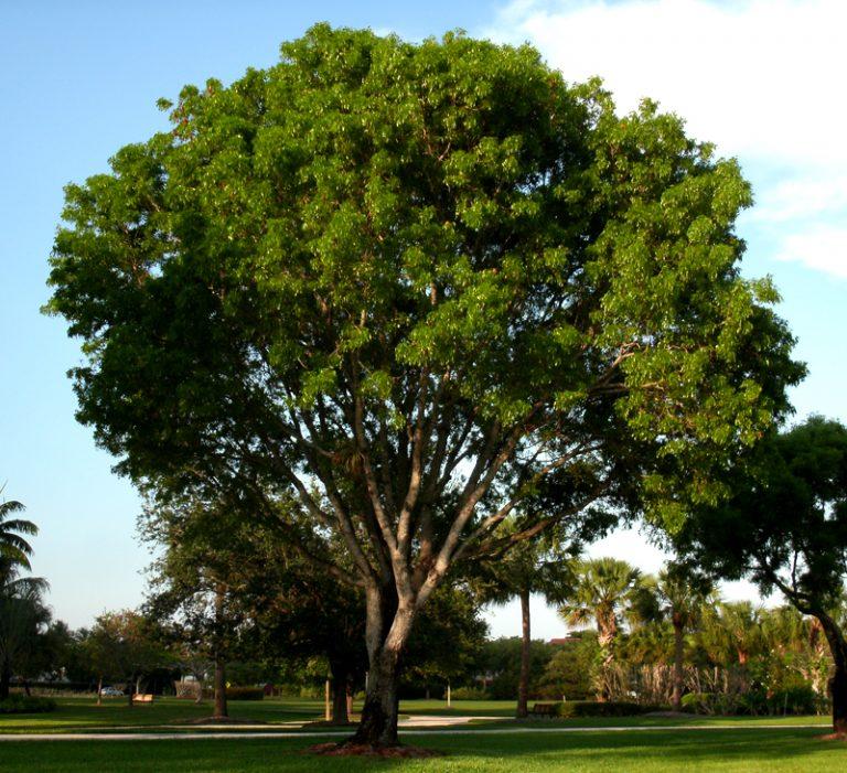 палисандровое дерево фото приготовить очень вкусное