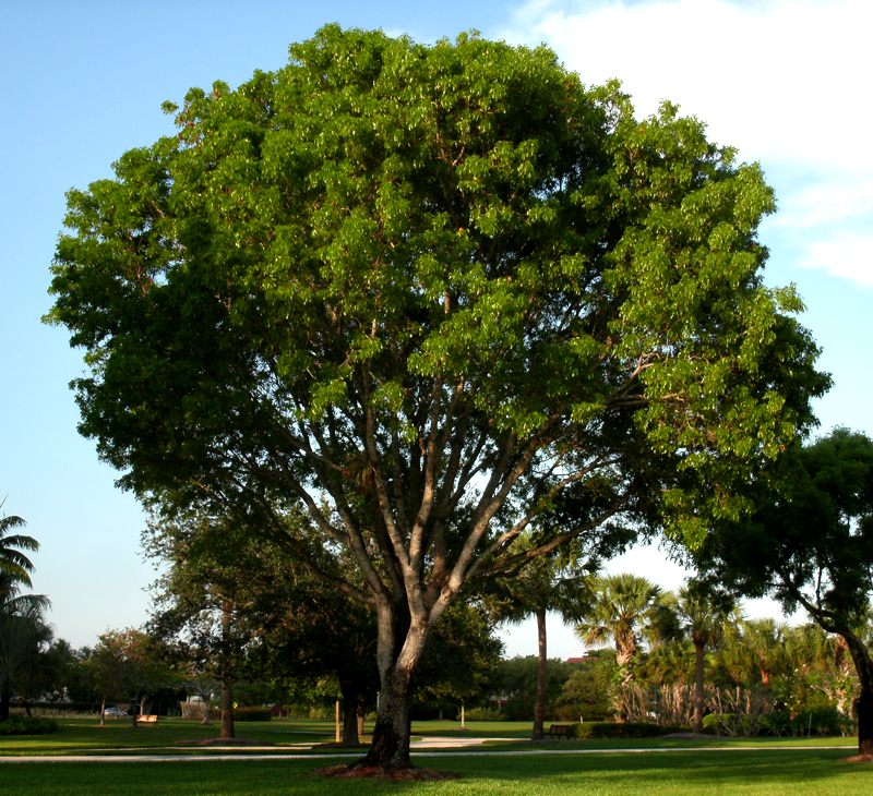 Фото дерева венге