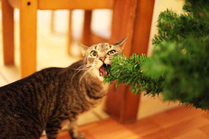 Можно сбрызнуть ветви горьким спреем, чтобы отбить у кошки охоту попробовать их на вкус