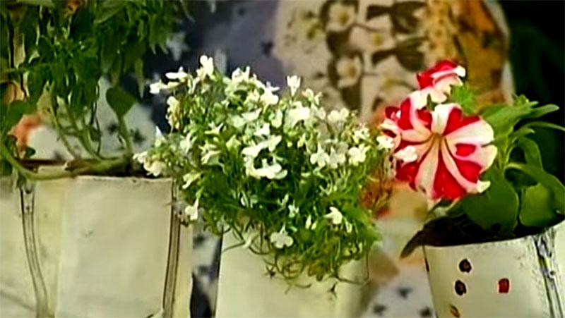 Лабелия – очень воздушный и лёгкий цветок с мягким ароматом