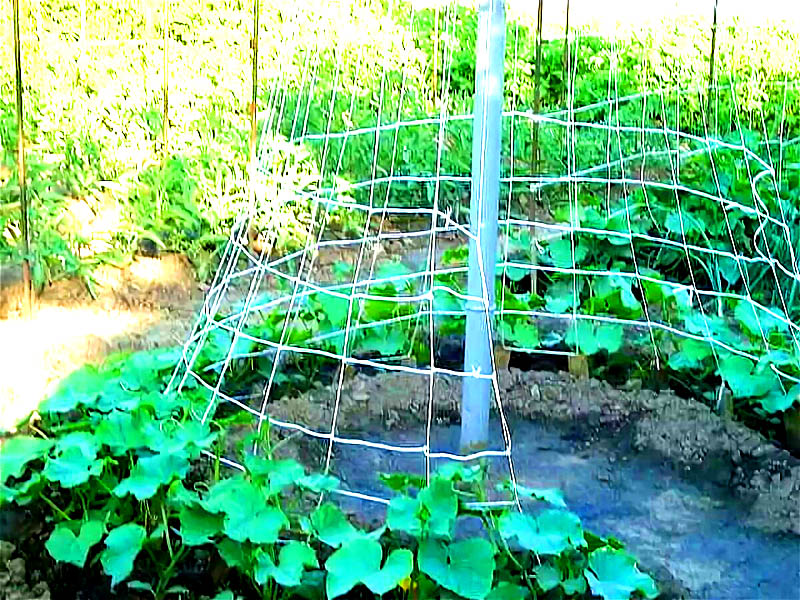 А можно обойтись одним колышком и просто посадить растения по кругу. Цепляясь на сетку или верёвки, ваши огурцы образуют шалаш, и это неплохо, ведь земля под ним не будет пересыхать из-за тени