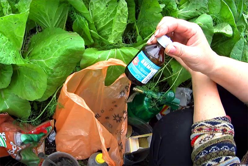 Хороший результат показывает опрыскивание листвы раствором аммиака. На литр воды добавляют примерно чайную ложку этого средства. Едкий запах отпугнёт улиток, но он быстро выветривается, так что брызгать лучше на ночь