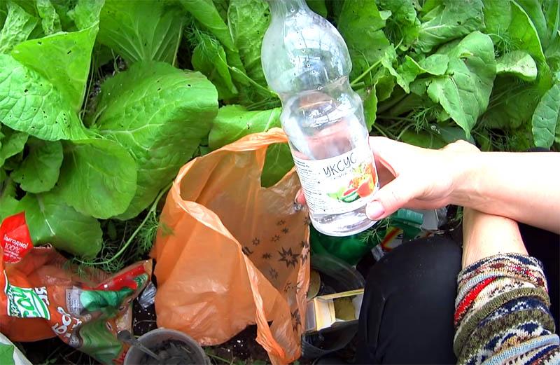 Такой же эффект даёт и опрыскивание растений раствором со столовым уксусом. Пропорции те же: чайная ложка на литр воды