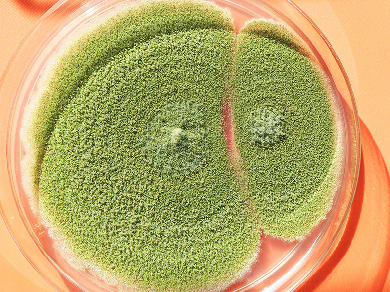 Aspergillus flavus достаточно вреден