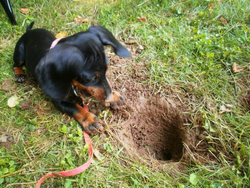 Даже если не поймает ваша собака вредителя, то точно напугает и заставит покинуть участок