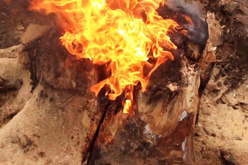 Пень горит как мощный факел, интенсивно и долго, выгорают даже мелкие корни