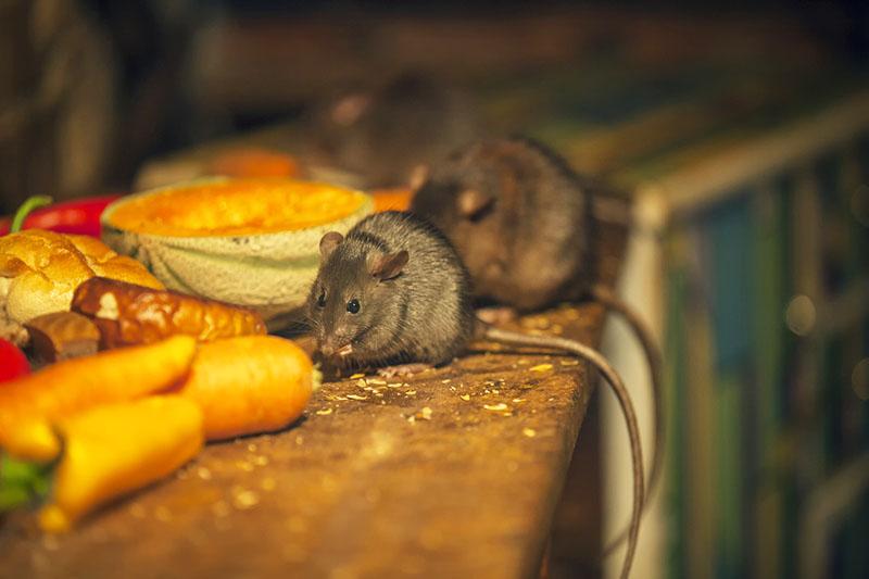 Мышки на кормёжке