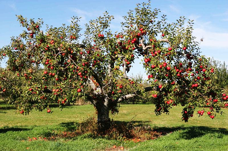 Такие плодовые деревья, как черешня, яблоня, груша или айва тоже дают хорошие результаты – до 200 литров в сутки, но только спустя лет 15 после посадки, когда развивают достаточно обширную корневую систему