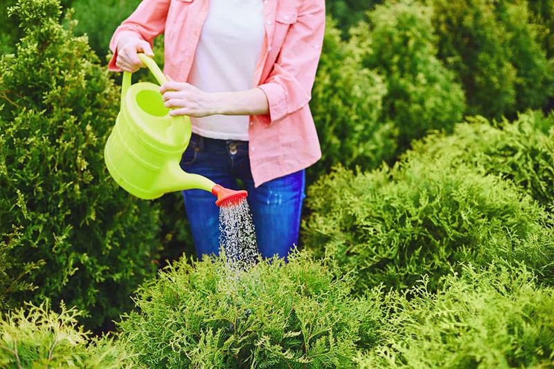 Поливать хвойные лучше утром, потому что за ночь вода может снова «схватиться» морозом