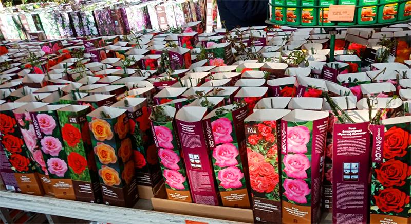 Стоит ли покупать саженцы роз в супермаркете