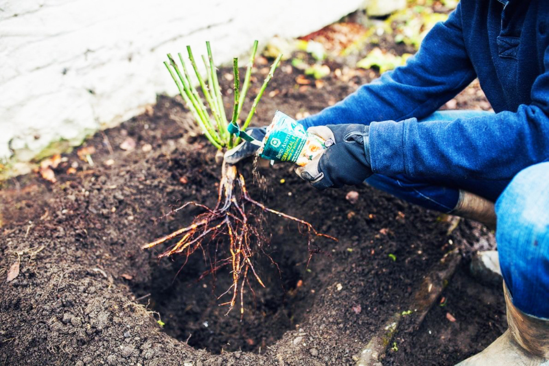 Не будет лишним вермикулит и кокосовый субстрат – этот состав похож на тот, в котором роза росла в теплице
