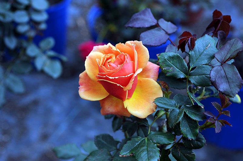 И самое главное – относитесь к розе, как к живому существу, ведь она им и является. Внимание и добрые слова творят настоящее волшебство