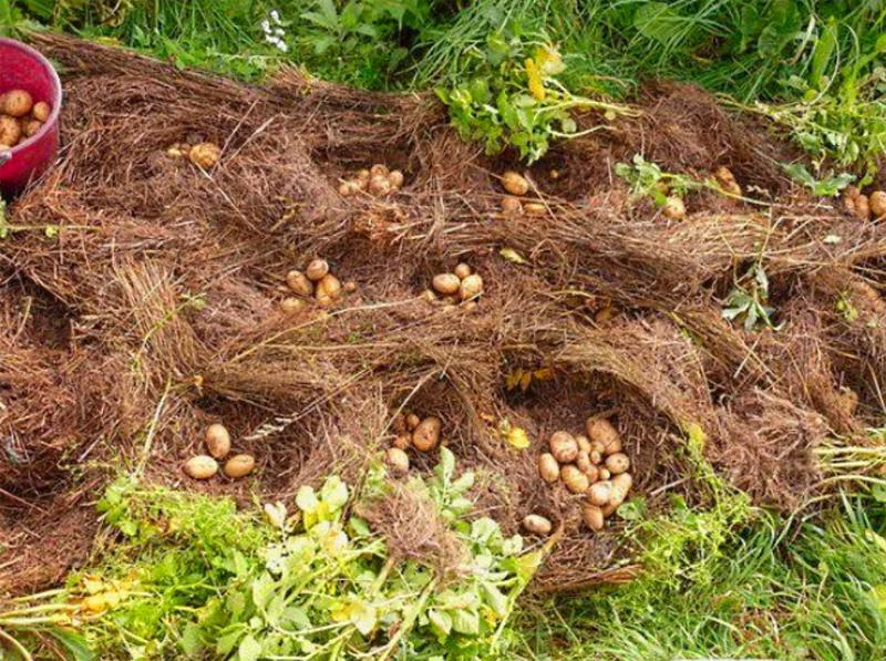 Собирать картофель в соломе – одно удовольствие, он чистый, сухой, а это уже залог длительного хранения