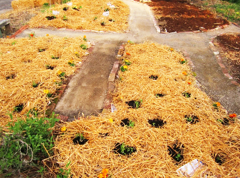 И снова мульча будет работать против сорняков только при условии подготовки почвы, то есть сорняки нужно предварительно убрать, а потом мульчировать