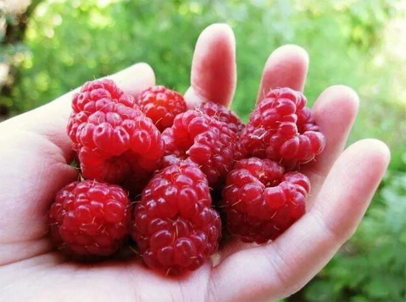 Сода защитит ягоды малины от червей, если обработать их на стадии завязи