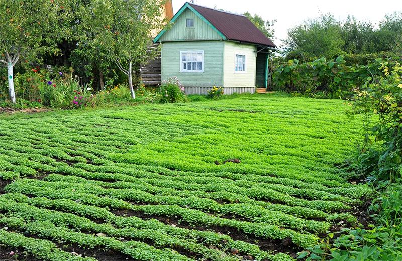 Что посадить в сентябре, чтобы удобрить почву на участке