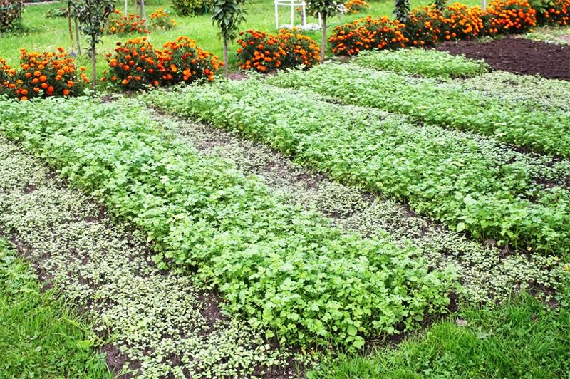 Самый качественный результат даёт двойная сидерация – с её помощью можно восстановить обеднённую почву и на открытом участке, и в теплице
