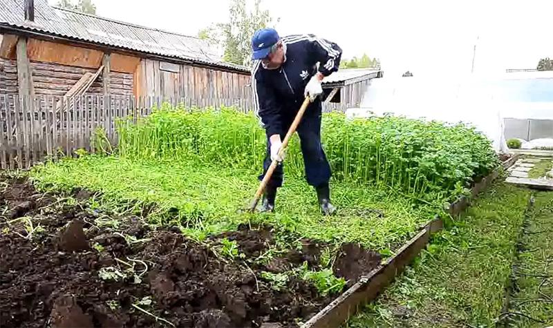Сидераты отлично работают на любых, даже на песчаных почвах. Причём вносить при перекопке можно не только зелёную часть сидератов, а и корни, и стебли