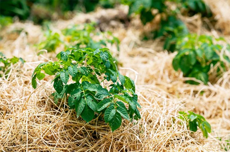 Скошенные сидераты можно использовать для мульчирования – это ещё один способ борьбы с сорняками и отличный метод сохранения влаги в почве