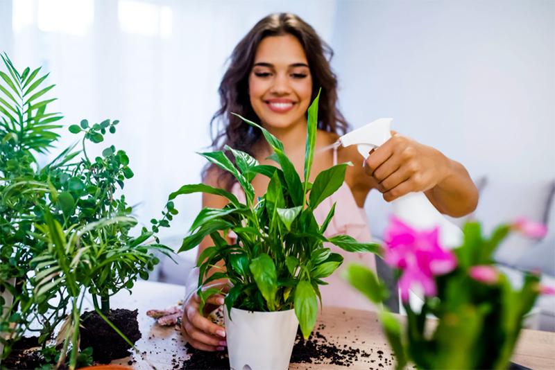 Если вы на лето высаживали комнатные цветы в сад – это очень хорошо. Ультрафиолет, свежий воздух, дождевая вода и натуральные удобрения позволят им запастись энергией на зиму. Но нужно вернуть гуляк домой, пока они не простудились
